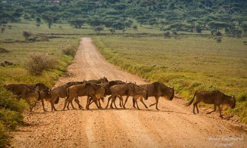 Zdjęcie TANZANIA / Park Serengeti / Park Serengeti / Antylopy gnu...