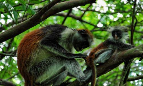 TANZANIA / Zanzibar / Jozani Forest / Piel�gnacja