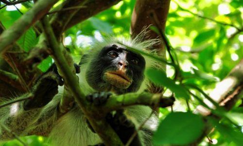 Zdjecie TANZANIA / Zanzibar / Jozani Forest / W ukryciu