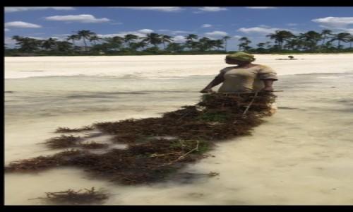 Zdjecie TANZANIA / Zanzibar / Zanzibar / Zbiór alg