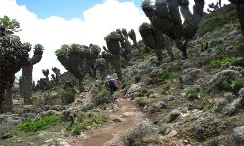Zdjecie TANZANIA / Afryka / Machame Route, Kilimanjaro / Lobelie wielkie