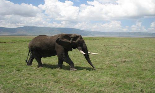 Zdjęcie TANZANIA / Afryka, / Krater Ngorongoro / Oto słoń