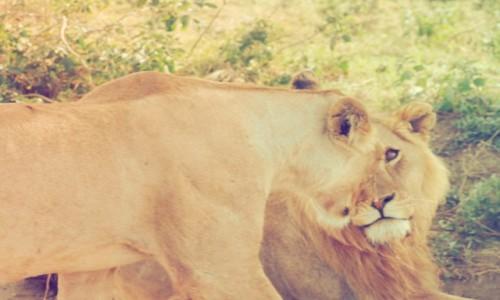 Zdjecie TANZANIA / Północ / Serengeti / Dzika czułość