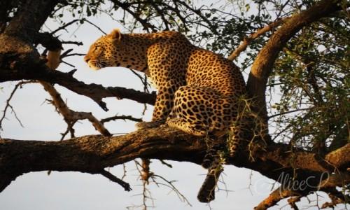 TANZANIA / Północ / Serengeti / Polowanie na zdjęcia