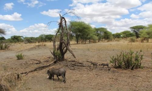 TANZANIA / Tarangire / Park Narodowy Tarangire / Tanzania - Safari