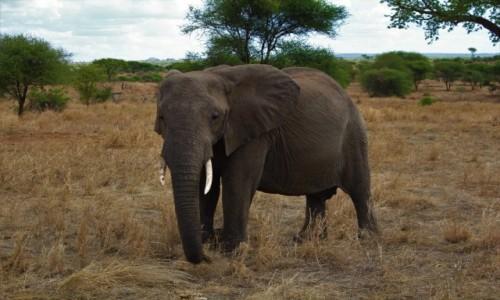 Zdjecie TANZANIA / Tarangire / Park Narodowy Tarangire / Tanzania - Safa