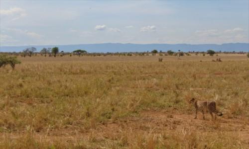 Zdjęcie TANZANIA / Tarangire / Park Narodowy Tarangire / Tanzania - Safari