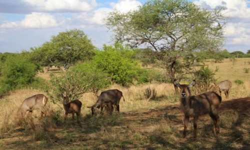 Zdjecie TANZANIA / Tarangire / Park Narodowy Tarangire / Tanzania - Safari
