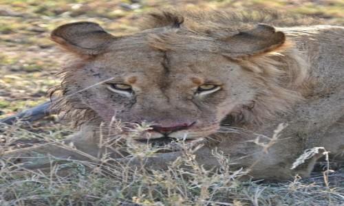 Zdjecie TANZANIA / Serengeti / Serengeti National Park / Bliskie spotkania