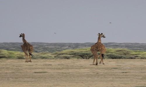 Zdjecie TANZANIA / Serengeti / Serengeti centralne / W galopie