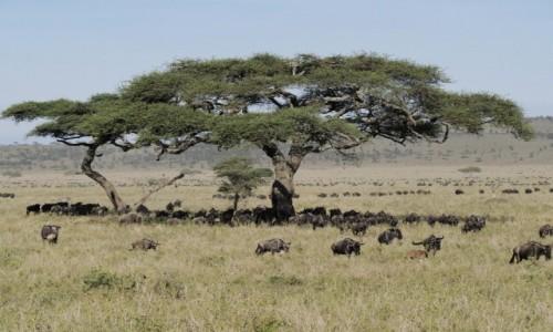 Zdjecie TANZANIA / Serengeti / Serengeti centralne / parasol