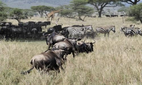 TANZANIA / Serengeti / Serengeti centralne / serengeti