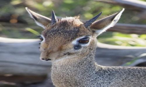 Zdjecie TANZANIA / afryka wschodnia / Serengeti / Tik Tik