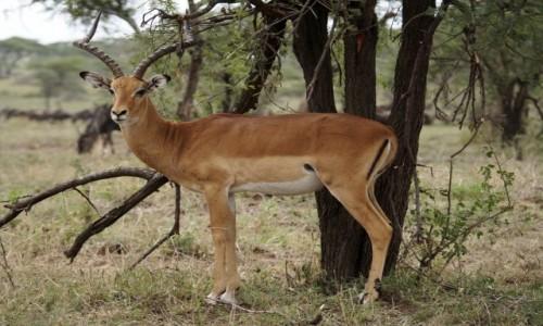 TANZANIA / afryka wschodnia / Serengeti / Impala