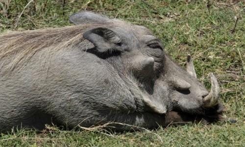 Zdjecie TANZANIA / afryka wschodnia / Serengeti / Pumba
