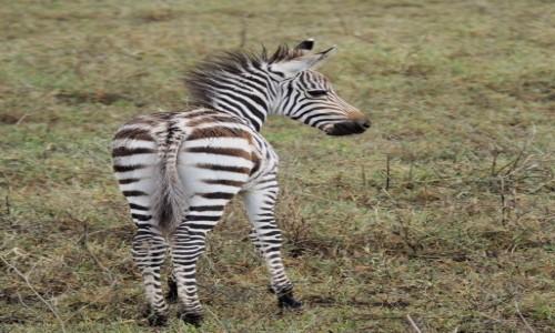TANZANIA / afryka wschodnia / Ngorongoro / Dzidzia