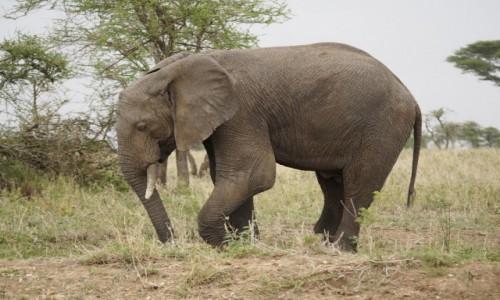 Zdjecie TANZANIA / afryka wschodnia / Serengeti / słoń