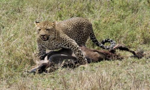 TANZANIA / afryka wschodnia / Serengeti / Zdobycz