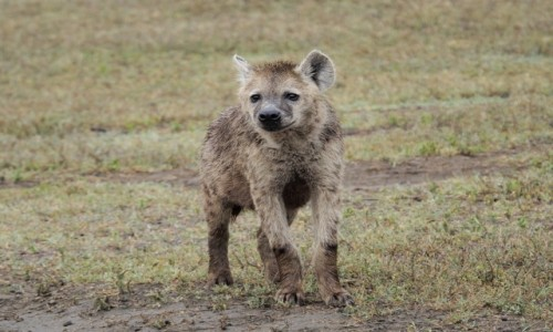 Zdjecie TANZANIA / afryka wschodnia / Ngorongoro / alfa
