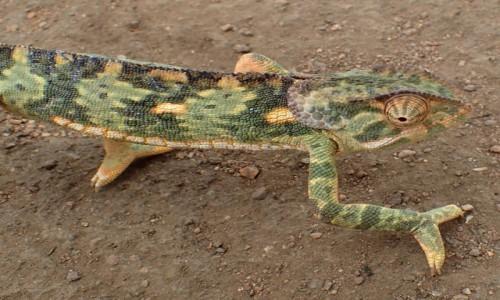Zdjecie TANZANIA / afryka wschodnia / Ngorongoro / kameleon