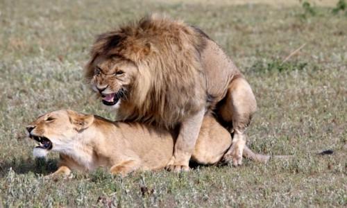 Zdjecie TANZANIA / Arusha / Ngorongoro / Król jest tylko jeden!