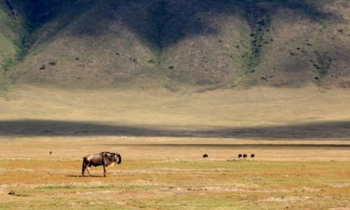 Zdjęcie TANZANIA / Arusha / Ngorongoro / Gnu pogrążone w zadumie