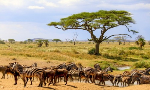 Zdjecie TANZANIA / - / Serengeti / Spotkanie przy wodopoju
