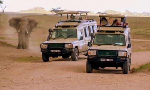 Zdjecie TANZANIA / - / Serengeti / Ciekawski słoń rozgania stado Land Cruiserów
