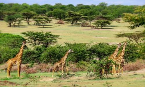 Zdjecie TANZANIA / - / Serengeti / Rodzinny spacer po parku