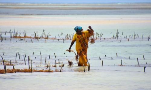 Zdjęcie TANZANIA / Zanzibar / wschodnie wybrzeże / Hodowla alg