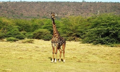 Zdjęcie TANZANIA / P.N. Jezioro Manyarra / j.w. / żyrafa