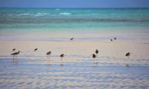Zdjecie TANZANIA / Zanzibar / wybrzeże wschodnie / Siewkowate