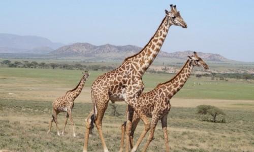 Zdjecie TANZANIA / Serengeti / Serengeti / Spacerek