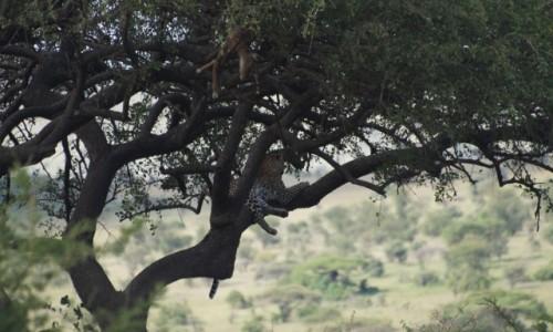 Zdjecie TANZANIA / Serengeti / Serengeti / Lampart z obiadkiem