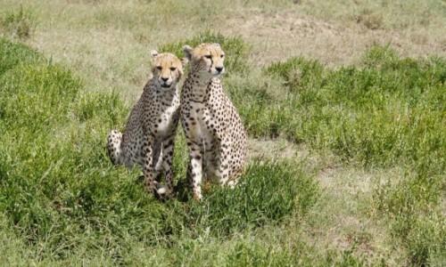Zdjecie TANZANIA / Serengeti / Serengeti / Idziemy na randkę czy na polowanie?