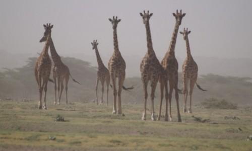 Zdjecie TANZANIA / Serengeti / Serengeti / Żyrafy w pyle - pora sucha