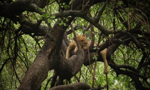 Zdjecie TANZANIA / Tarangire / Tarangire / Jedyne takie - lwy na drzewie