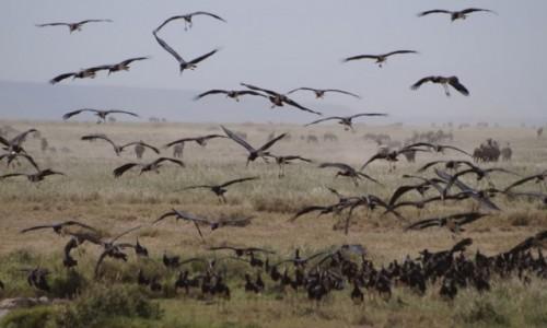Zdjecie TANZANIA / Serengeti / Serengeti / Ptaki Hitchcocka