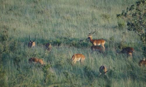 Zdjecie TANZANIA / Serengeti / Serengeti / Jelenie na rykowisku?