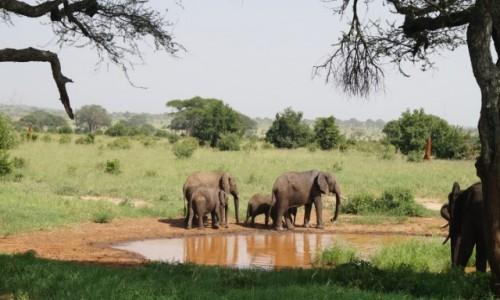 Zdjecie TANZANIA / Tarangire / Tarangire / Słonie u wodopoju