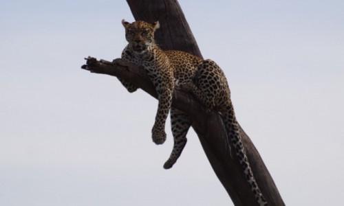 Zdjecie TANZANIA / Serengeti / Serengeti / Leopard