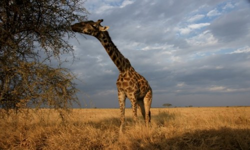 Zdjecie TANZANIA / Serengeti / Gdzieś na Serengeti / Akacja