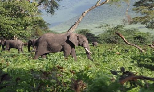 Zdjecie TANZANIA / Arusha / Ngorongoro Crater / Słonie w Ngorongoro Crater