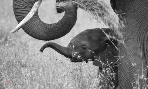 Zdjecie TANZANIA / - / Serengeti / Światowy dzień słonia