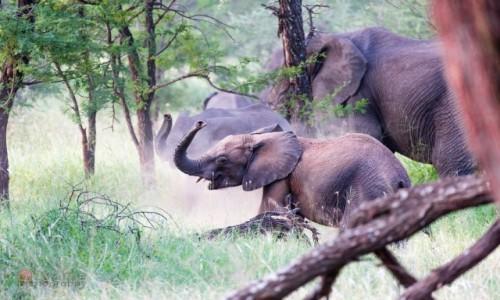 Zdjecie TANZANIA / - / Serengeti / Dzień słonia - c.d.