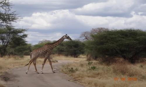 Zdjecie TANZANIA / Tarangiri / Tarangiri / W krainie Baobabów