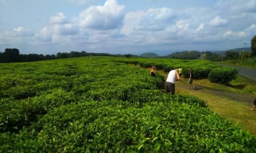 Zdjecie TANZANIA / - / afryka / plantacja herbaty