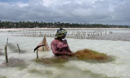 TANZANIA / Zanzibar / Plaża  / Zbiór alg