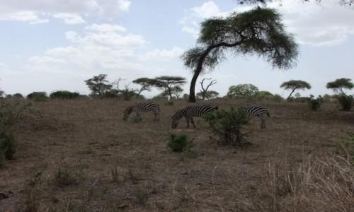 Zdjęcie TANZANIA / Afryka Środkowa / Terengire / Safari w Parku Terengire