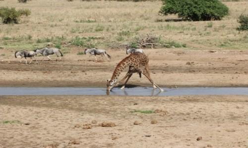 TANZANIA / Afryka Środkowa / Terengire / Safari w Parku Terengire